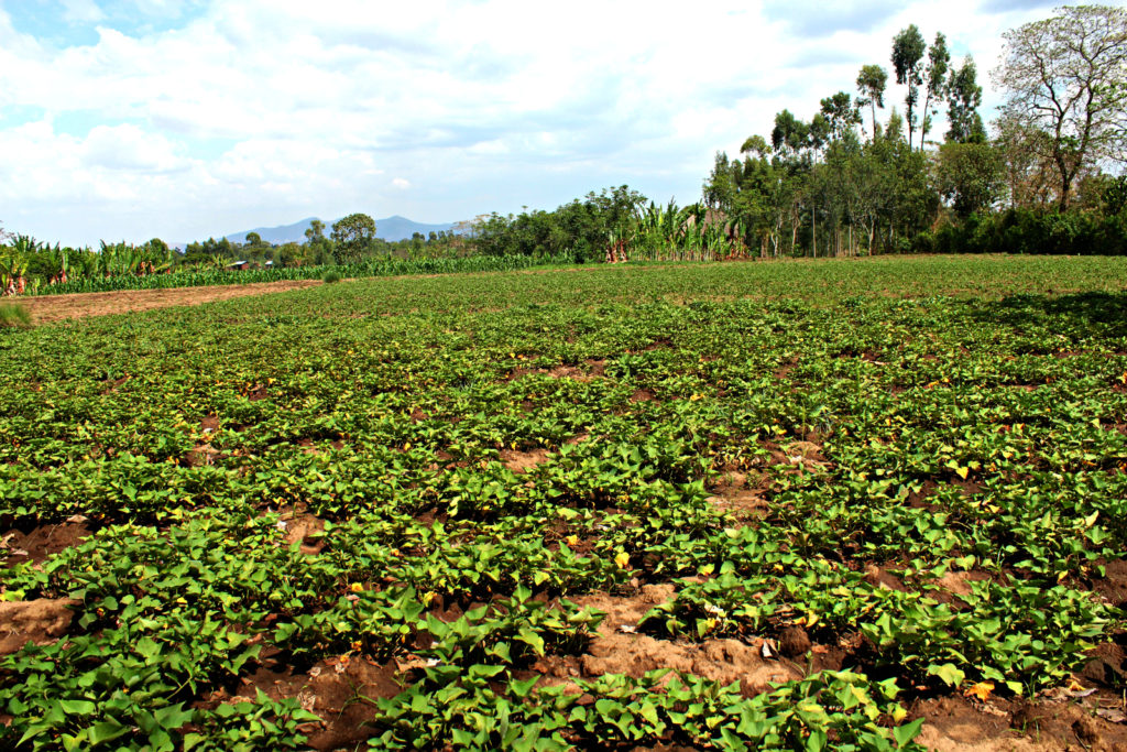 A beautiful field of sweet potatoes in Shanto.